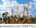귀여운 구름이 떠있는 푸른 하늘 아래에서 흔들리는 만추의 무성한 억새 56867421