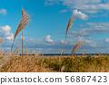 맑고 푸른 하늘과 바다를 배경으로 부드럽게 흔들리는 노란 억새 56867423