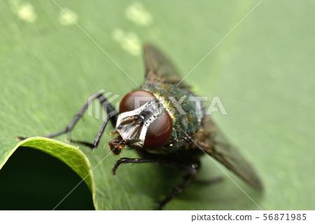 Golden fly 56871985
