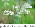 부추 꽃과 꽃가루를 모으는 개미 56873144