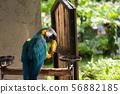 maccaw parrot eat mango fruit 56882185