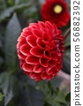 달리아 꽃 56882392