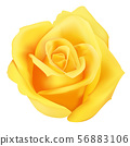 Yellow roses blooming isolated vector. 56883106