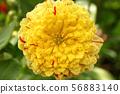 Yellow chrysanthemum flower close up as background 56883140