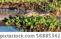 in  australia  reptile crocodile in the river 56885342