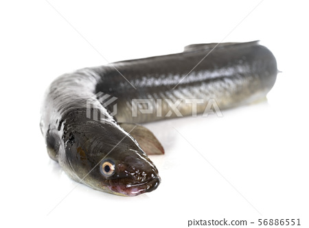 European eel in studio 56886551