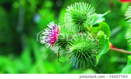 Burdock flowers and fruits 56887560