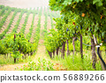 Beautiful Wine Grape Vineyard In The Morning Sun 56889266