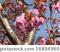 Beautiful camellia flowers on tree with blue sky 56894960