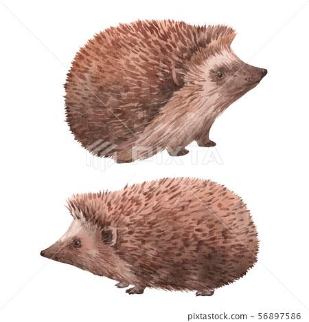 Watercolor hedgehog illustrations set 56897586