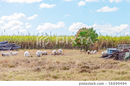 Sheep Grazing On A Country Station 56899494