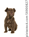 Adorable old english bulldog puppy looking up 56900827