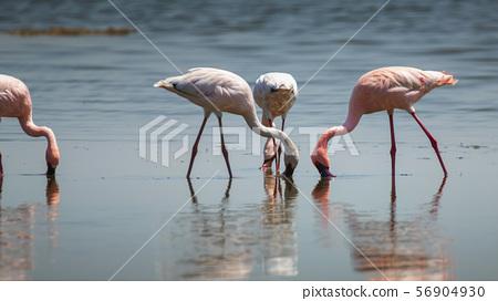 Lesser Flamingo in Lake Nakuru National Park ,Kenya. 56904930