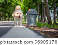 Cute white poodle dog on green park background 56905170