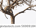 leopard on a tree in kruger park south africa 56909184