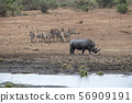 rhino and zebras drinking at the pool in kruger 56909191