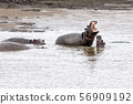 hippos fighting in kruger park south africa 56909192