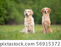 Two Golden Retriever dogs 56915372