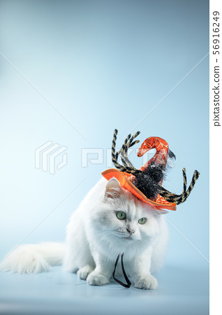White Cat sitting with Halloween hat 56916249
