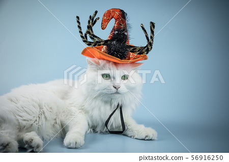 Cute Silver cat Halloween,stock photo 56916250