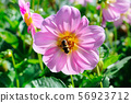 Dahlia on background of flowerbeds. Focus on 56923712