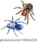 Exotic tarantula spider wild insect. Watercolor background illustration set. Isolated insect 56924228