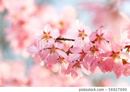 분홍벚꽃 56927890