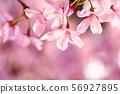 분홍벚꽃 56927895