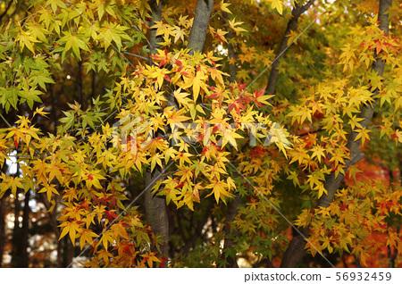 가을 단풍 56932459