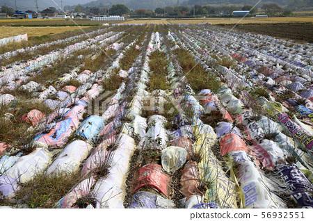 논농사, 벼수확, 트랙터, 퇴비살포, 56932551