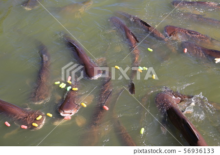 Feeding striped catfish in pond. Thai Iridescent 56936133