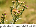 Thistle flowers and buds - Monte Baldo Italy 56945439