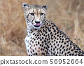 cheetah portrait in kruger park south africa 56952664