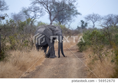 big elephant in kruger park south africa 56952670