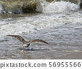 Seagull running on water as it takes off to start 56955566