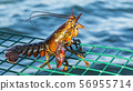 Live lobster standing on top of green lobster trap 56955714