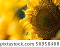 Sunflower close up sunny bright background 56958468