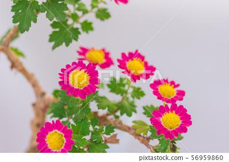 Chrysanthemum Bonsai Stock Photo 56959860 Pixta