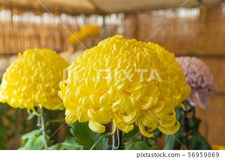 黃色大菊花 56959869
