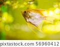 Pterophyllum Scalare in aqarium water, yellow angelfish 56960412