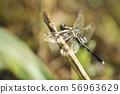 蜻蜓Tonbo夏天秋天昆虫昆虫生物自然 56963629