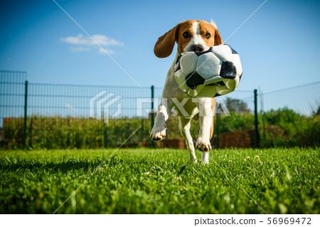 Dog beagle purebred running with a football ball 56969472