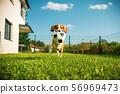 Dog beagle purebred running with a football ball 56969473