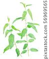 Corymbia citriodora Lemon Eucalyptus 56969565