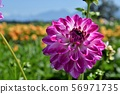 Close-up of dahlia blooming in flower field, Chilliwack, British Columbia, Canada 56971735