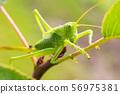 Green grasshopper sitting on tree in the garden 56975381