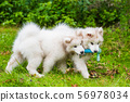 Two Funny fluffy white Samoyed puppies dogs are playing on the green grass 56978034