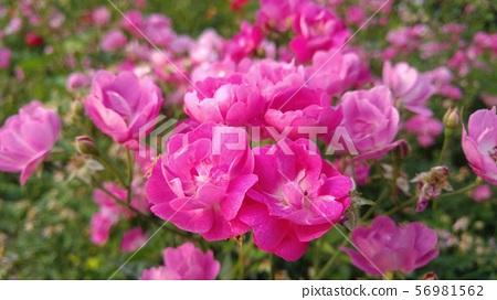 분홍장미 56981562