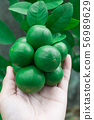 Lemon lime fruit on hand 56989629