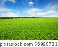 Fresh spring clover field 56990731